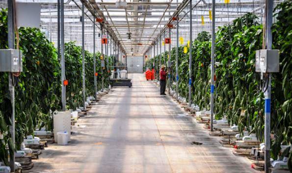Leamington Ontario Greenhouses